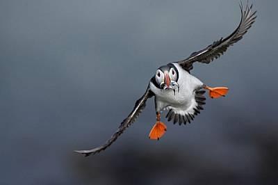 Готвейки се за приземяване, тъпоклюна кайра носи храна за своето малко на островите Трешниш в Шотландия. Родителите правят до 8 тура за храна дневно;...