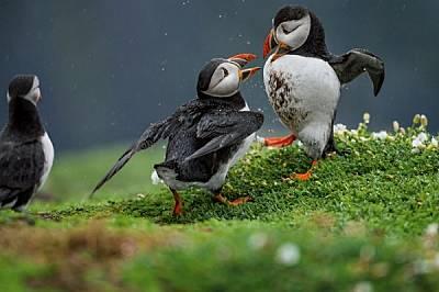 Кайри размахват криле и кръстосват клюнове по време на кален дуел. Повечето двубои между кайри започват заради спор за някоя дупка. Въпросът обикновен...
