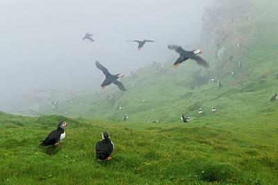 """От април до август кайри превземат потопените в мъгла скали в резервата """"Хърманес"""". Много от тях се връщат в същата дупка със същия..."""