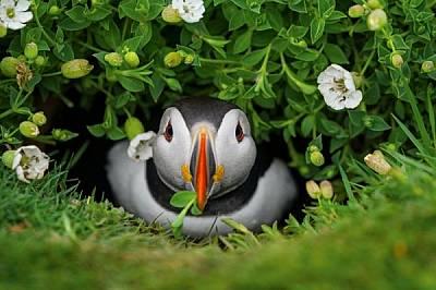 Подала глава от дупката си, кайра откъсва цвете, за да украси временния си дом на о-в Скомър, където се размножават 6000 двойки. Дупките обикновено са...