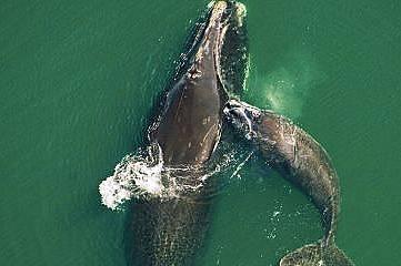 Същинските китове