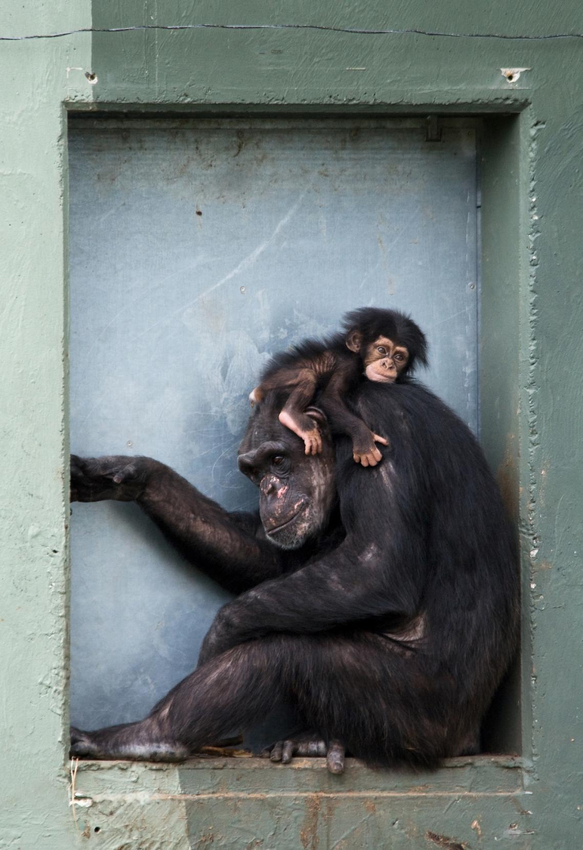 Бебе шимпанзе с майка си