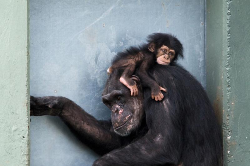 Майките шимпанзета скърбят и обичат като нас