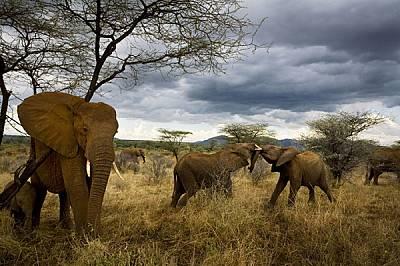 Сигурността и усвояването на знания са от ключово значение за слонското общество. В саваните на Самбуру малките в семейните групи са под зоркото наблю...
