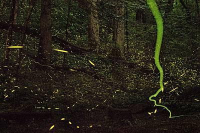Светулки проблясват и оставят следи в лятна нощ в Тенеси, изпълнявайки зрелищно светлинно шоу, за да съблазнят потенциални партньори.