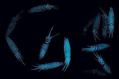 Луминeсценцията на калмарите светулки ги прави видими в аквариума, но в океана действа като мантия невидимка, така че те се сливат с идващата отгоре с...