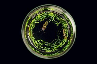 При дълга експонация биолуминесценцията от гърбовете на три бразилски елатерида оставя светли следи. Чрез светлината те привличат партньори и може би...