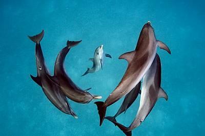 Петнисти делфини плуват край северните Бахамски острови, където водата е изключително прозрачна. Три поколения от тези социални животни – 30...