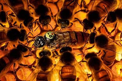 Заобиколена от пчели кърмачки, майката в експериментална колония (резистентна към акарите) протяга език, за да я нахранят. Тази пчела майка, създадена...