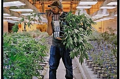 """Филип Хаг, главният ботаник в денвърска компания за канабис, наречена """"Майндфул"""", души корените на едно растение, за да провери да..."""