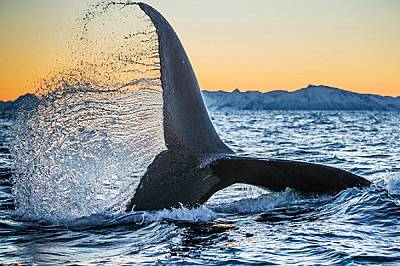 В един норвежки фиорд северно от Полярния кръг гърбат кит се присъединява към косатките, за да си похапне от пасажите херинга.