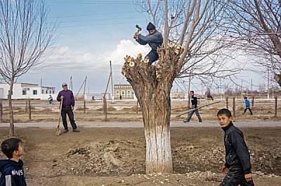 Мъж подрязва брястово дърво в Казанкеткен, Узбекистан. Подобни понасящи сушата дървета все още растат покрай сухите напоителни канали, които някога о...