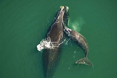 Едно китче игриво побутва майка си в топлите плитчини до о-в Амелия край Флорида. Бременните женски атлантически южни китове раждат и зимуват край бре...
