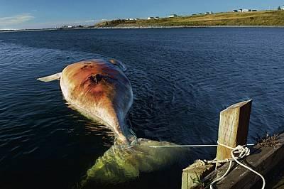 Трупът на женски кит, убит при сблъсък с кораб (и вързан в заливче в Нова Скотия, за да бъде изследван), напомня за загубата на малките, които биха мо...