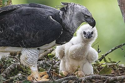 Спасяването на гигантските грабливи птици на Амазония