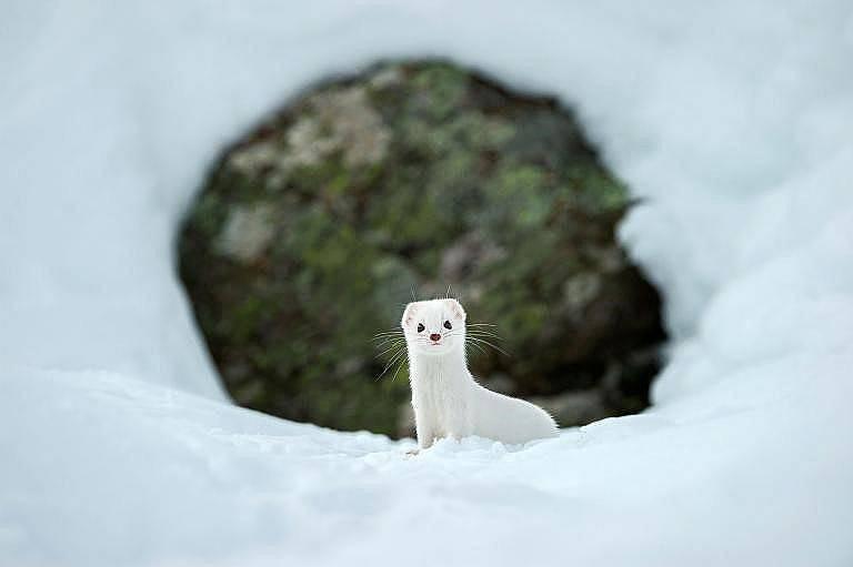 С безупречно белите си одежди сибирската белка, наречена още хермелин, се слива със снега в италианския национален парк Гран Парадизо. Снимка: Стефан...