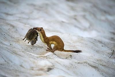 Хермелин улавя полевкаХермелин улавя полевка в италианския национален парк Гран Парадизо. При по-топло време хищникът надява кестеняво на цвят палто.&...