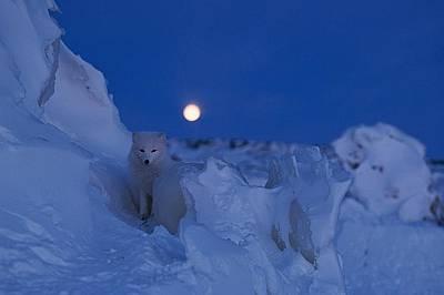 Полярна лисицаОбляна от лунната светлина, полярна лисица се е сляла със снежния пейзаж. През зимата по лапичките на снежните лисици израства гъста коз...