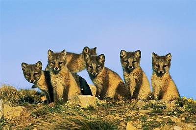 Полярни лисичетаПолярни лисичета, застанали нащрек. Светлокафявите им козини са с цвета на почвата.