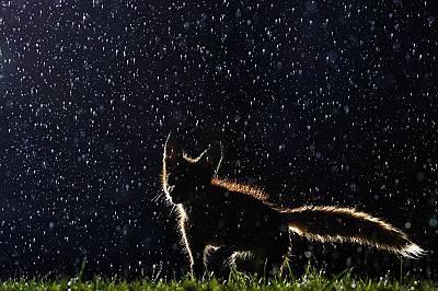 Лисиче в парк в МонреалКое дете, или животинче, не би искало да играе в дъжда? След няколкомесечни опити една дъждовна сутрин фотографът Владислав Кам...