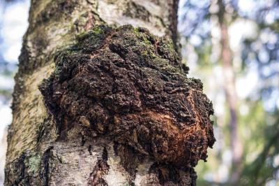 Чага (Inonotus obliquus) е дървесен вид гъба, която засилва имунната система и подпомага работата на мозъка и здравето на кожата.