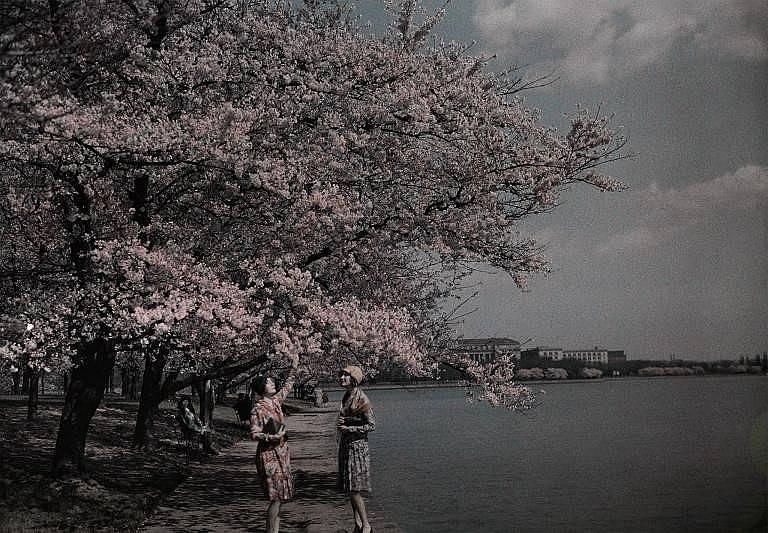 Жена притваря очи и докосва цъфналите дървета в северната част на езерото Тайдъл Бейзин. Датата на снимката не е известна.