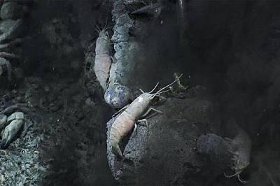 Подводният апарат съзира охлюви и скариди в тъмните, богати на химически съединения води.