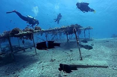 Трансплантираните рифове  След като в продължение на четири години трансплантираните рифове били затворени за туристи, те показват обещава...