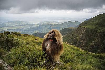 Тревопасните маймуни от Етиопия