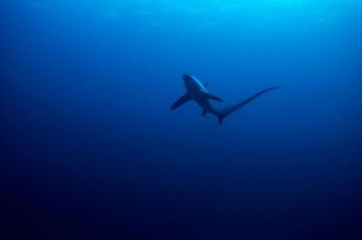 Загадъчно събитие поразява популациите на акулите преди 19 милиона години