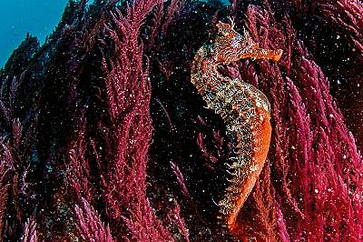 Морско конче от вида Hippocampus ingens се е захванало за червени водорасли по дъното на плитчините край о-в Фернандина. Морските кончета се хранят с...