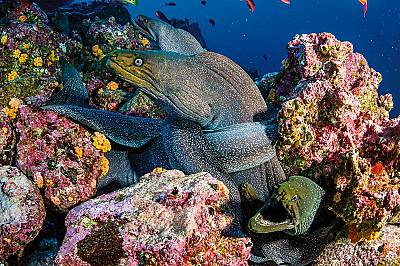 Петнистите мурени са много разпространени хищници в рифовете край о-в Уолф. Хранят се с ракообразни, октоподи и риби. Не са агресивни, въпреки че пост...
