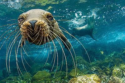 Млад, любопитен галапагоски морски лъв проучва фотограф край о-в Санта Крус в Еквадор.