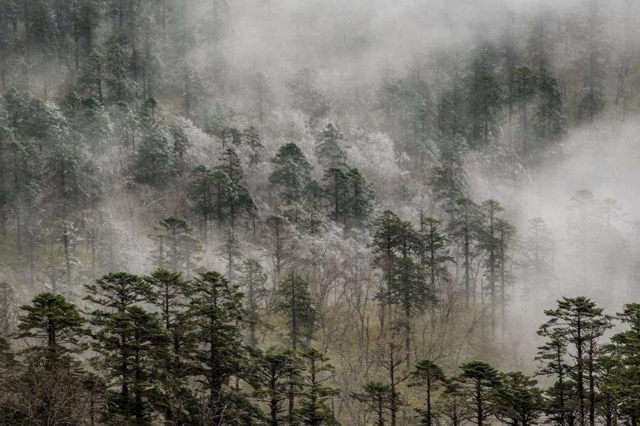 След като големите хищници изчезнаха от китайските гори, популациите на други местни видове, като сичуанския такин и северния китайски глиган, се увел...