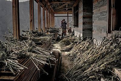 Сушене на канабисСемейство събира сухите растения, които не е успяло да превърне в хашиш преди падането на снега.