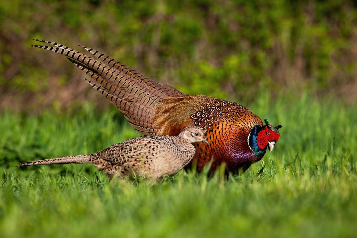 Мъжки и женски колхидски фазан (Phasianus colchicus). Видът е ловуван в България.