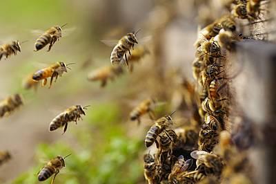 Пчелите могат да се научат да смятат!