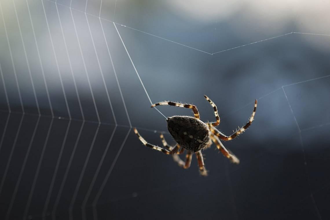 Малко паяци оцеляват след като биват засмукани. Снимка:iStock