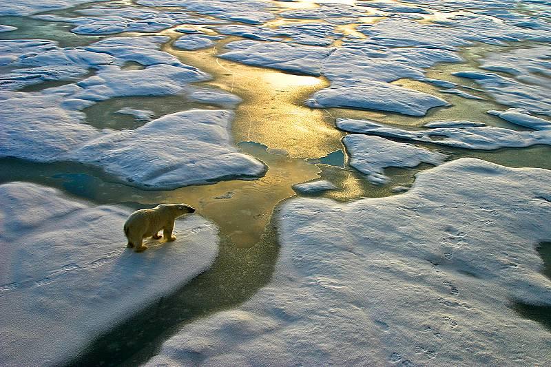 Полярните мечки под заплаха в резултат на глобалното затопляне