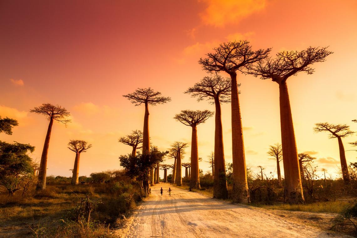 Булевардът на баобабите в Мадагаскар по залез слънце.