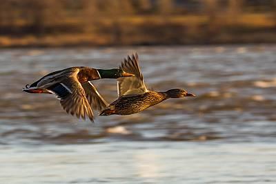 Броят зимуващите водолюбиви птици у нас