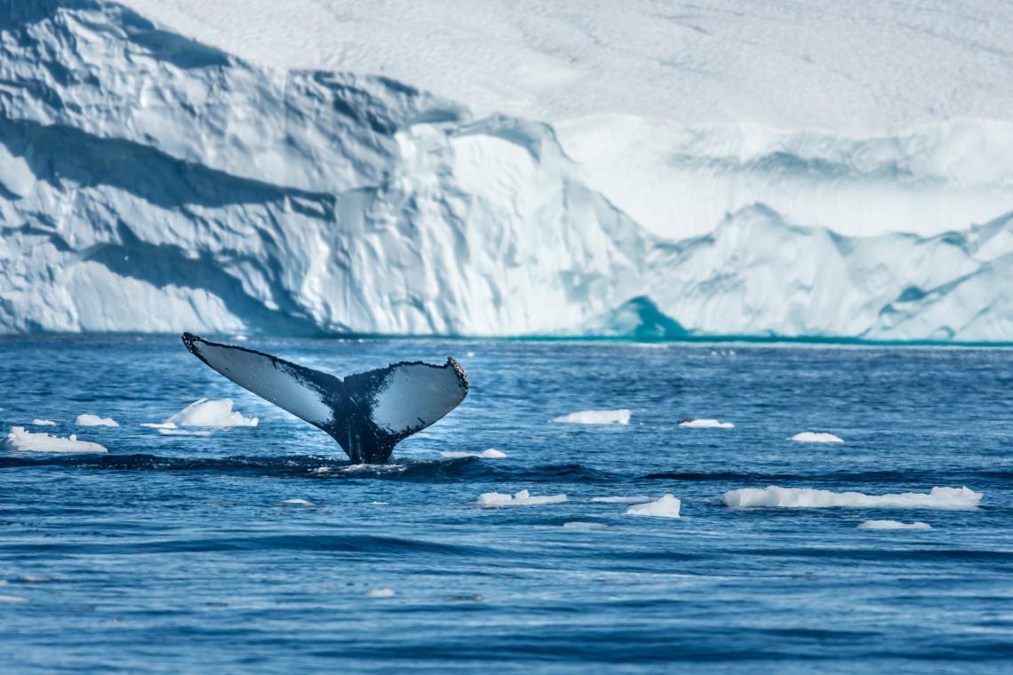 Гърбат кит плува сред ледените фиорди на Гренландия.
