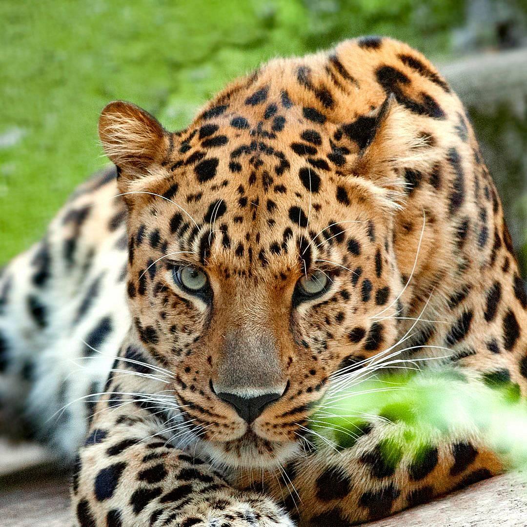 Също като човешките отпечатъци, всеки леопард има различни шарки, по които може да бъде разпознат.  Снимка: iStock