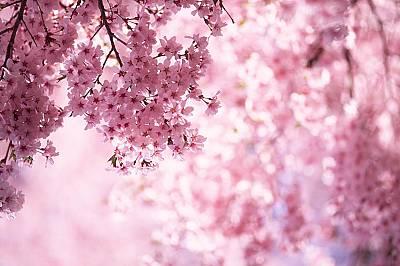 В Япония разцъфнаха първите вишни