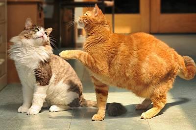 Когато изпълняват трудни задачи, женските котки обикновено използват дясната си лапа, а мъжките – лявата.