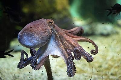Октоподите имат 3 сърца.