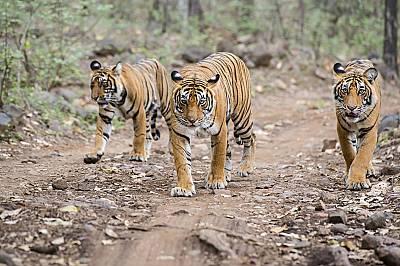 Тигрите могат да изядат повече от 35 килограма месо на едно ядене.