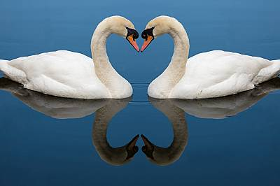 Двойките лебеди често остават заедно за цял живот.