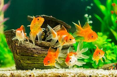 Ако държите златна рибка дълго време на тъмно, тя ще стане сива.