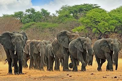 Слоновете ходят на пръсти.